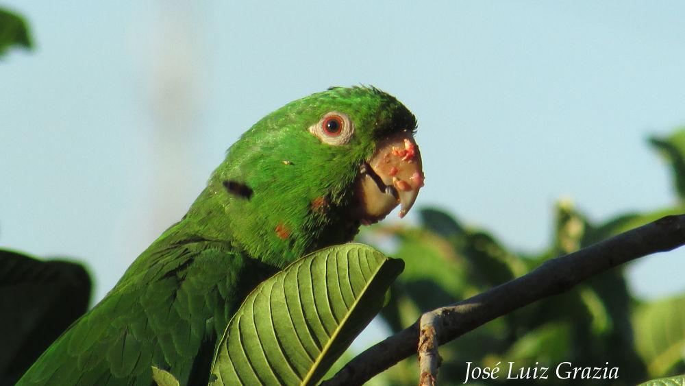 Periquitão-maracanã (Psittacara leucophthalmus) by jlgraziabio