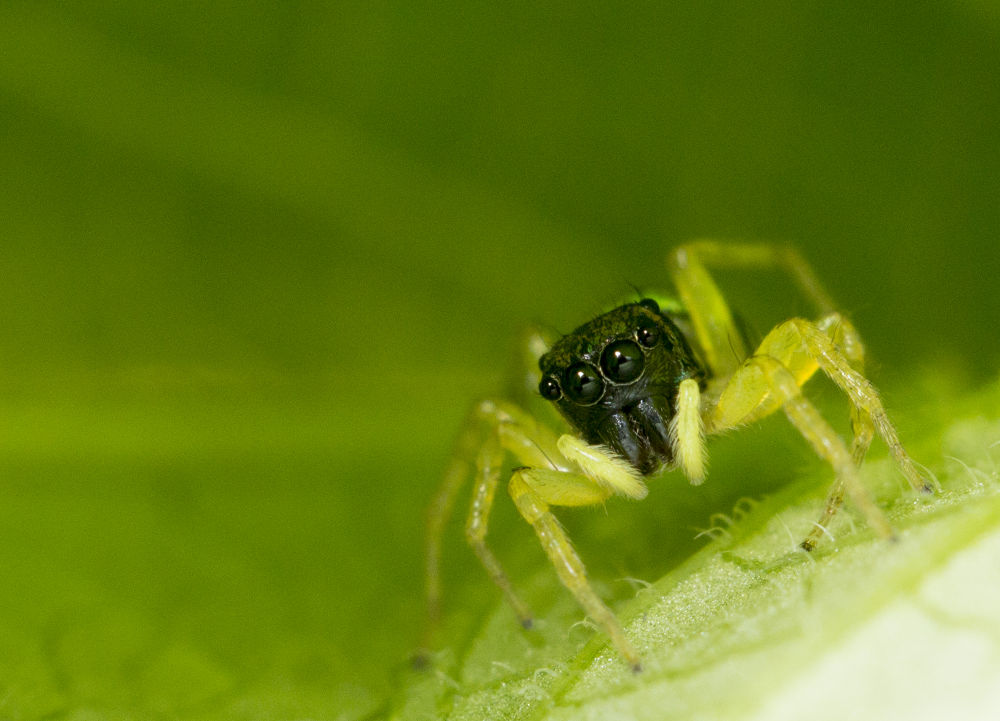 Green Jumping Spider by MacroEye