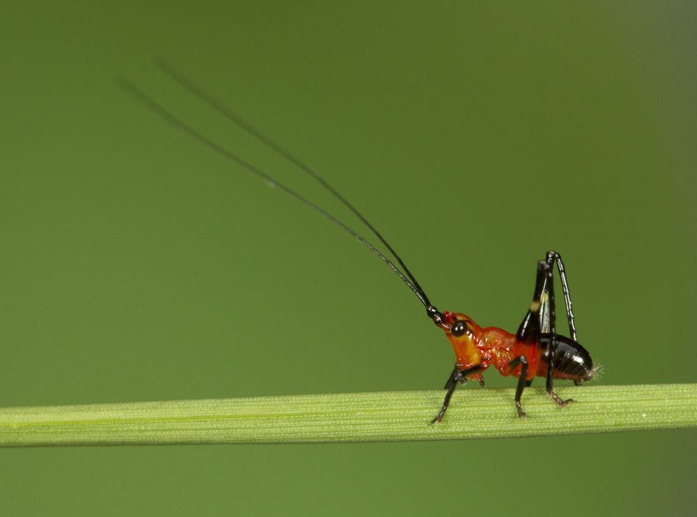 Red Grasshoper by MacroEye