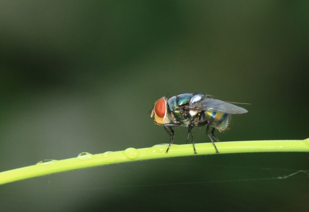 Normal fly, but its red eye and green body caught my attention. by MacroEye