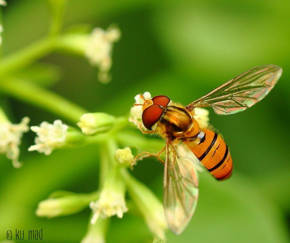 Syrphidae by ku_mad