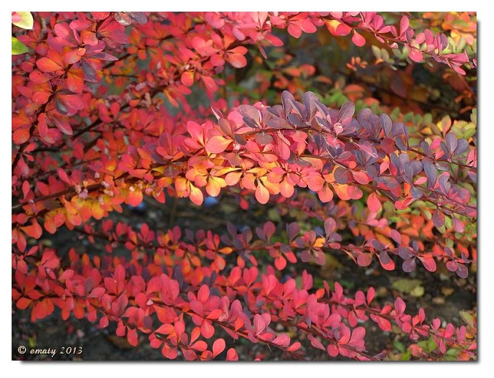 Red bush by ErikaM