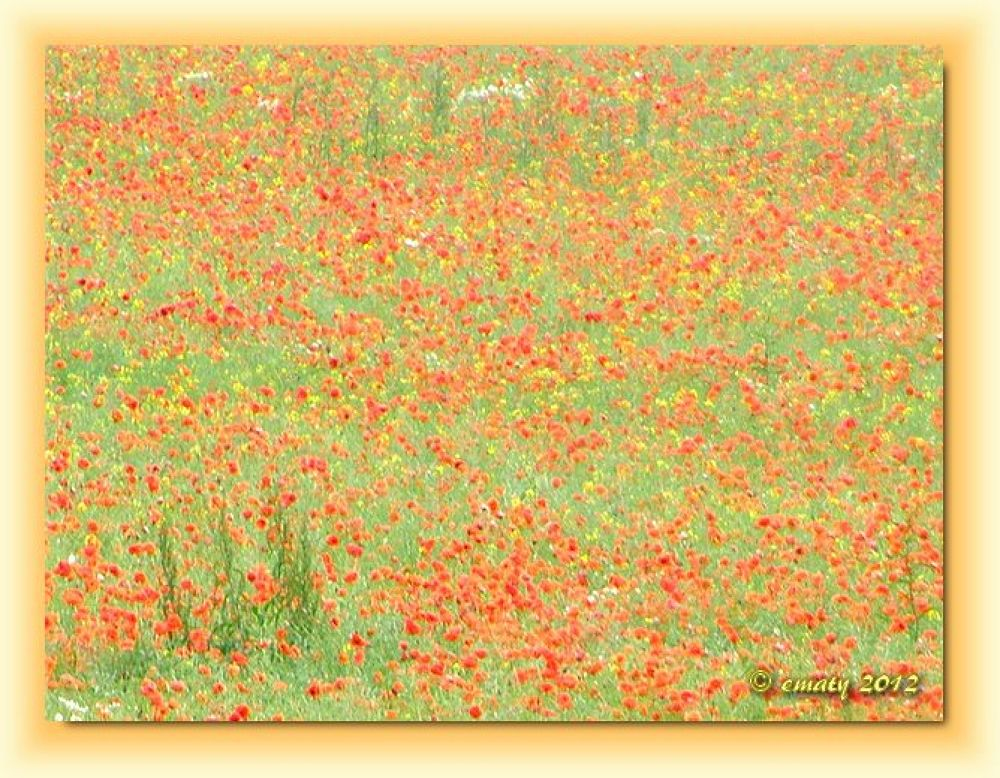 Poppies by ErikaM