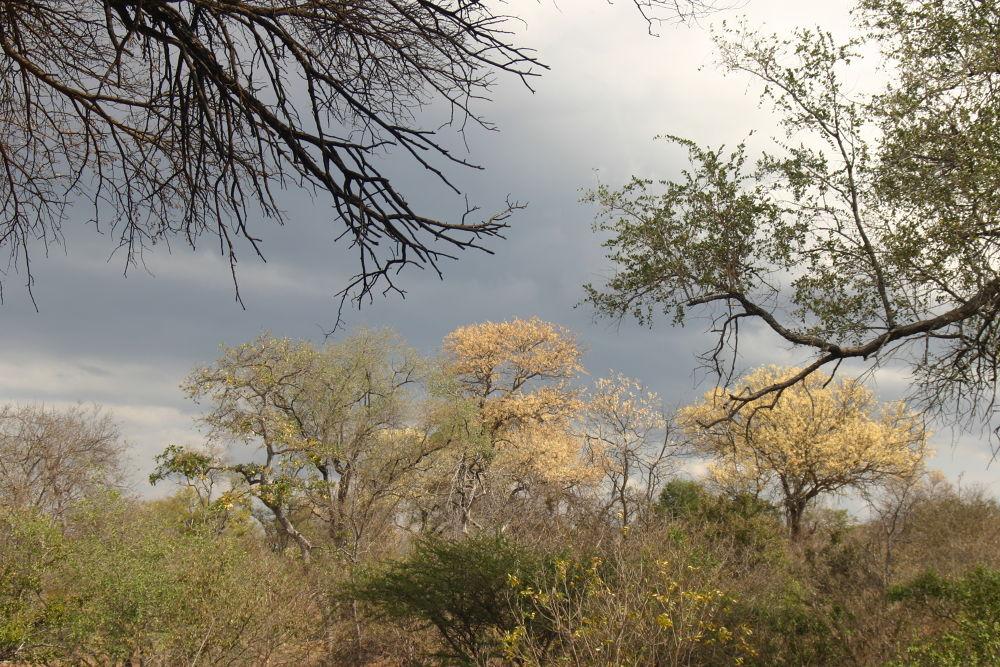 knobthorns by amukela