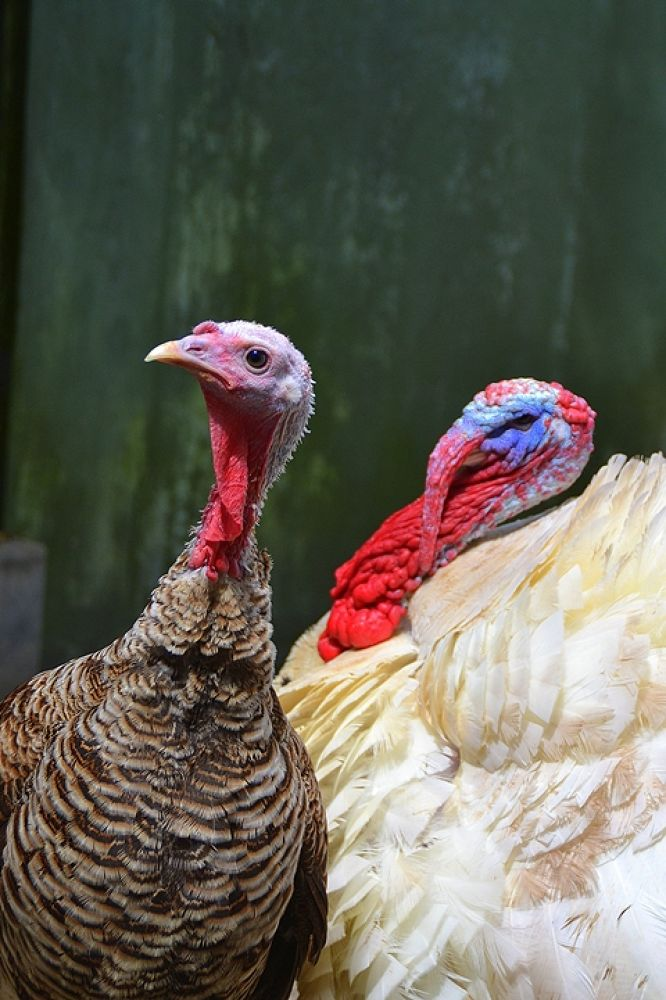 turkey 1 by beckmalik5