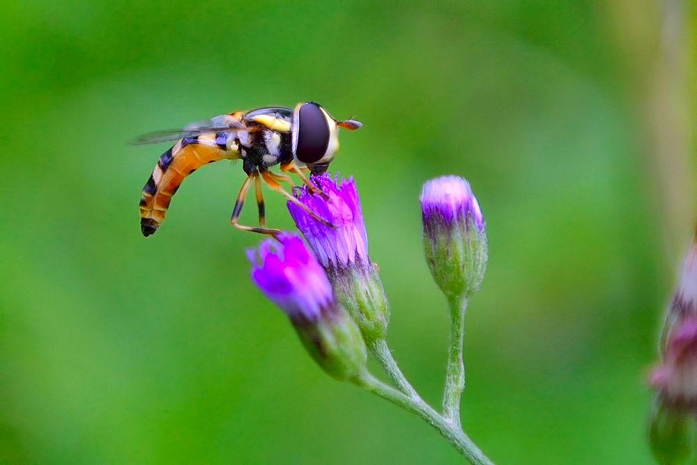 hoverfly by djerrybansaleng