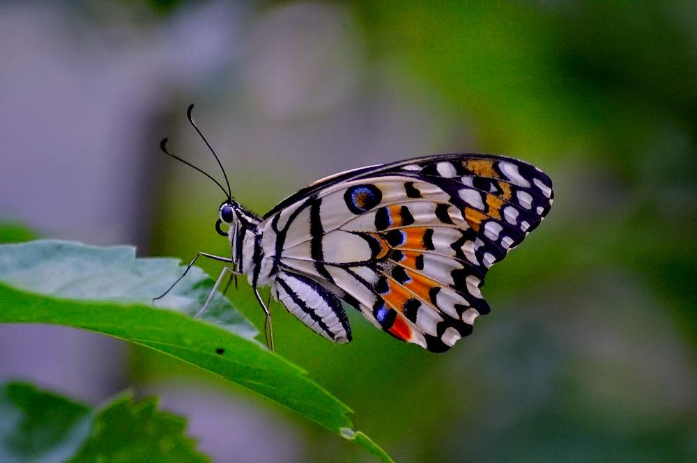 Butterfly by djerrybansaleng