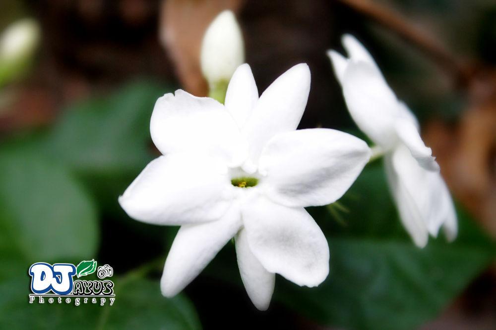 Flower White by KakangJayus