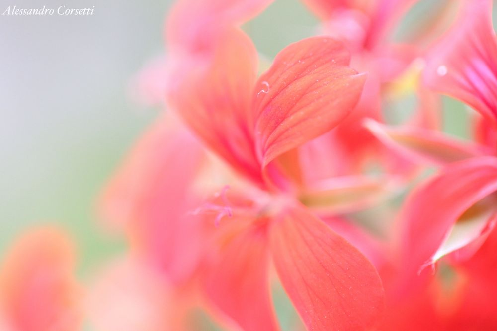Flower by alessandrocorsetti12