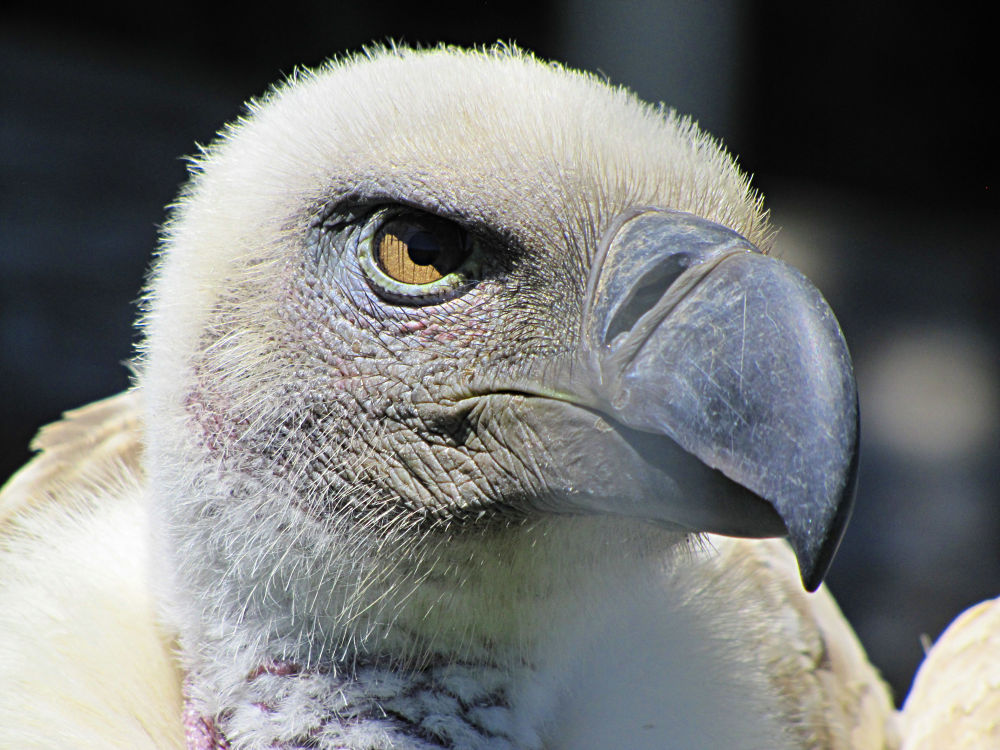 Cape Vulture by GiampieroTorello