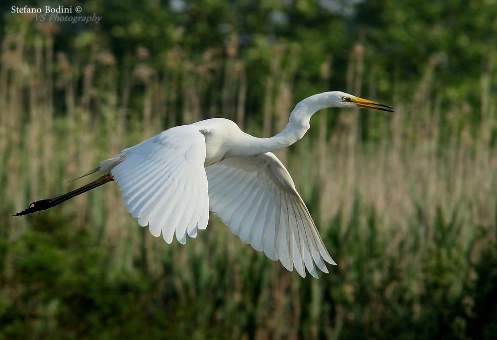 White Heron by VSphotography