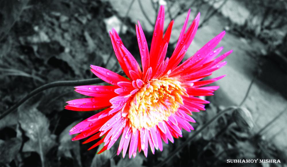 Gerbera of my garden by subhamoy mishra