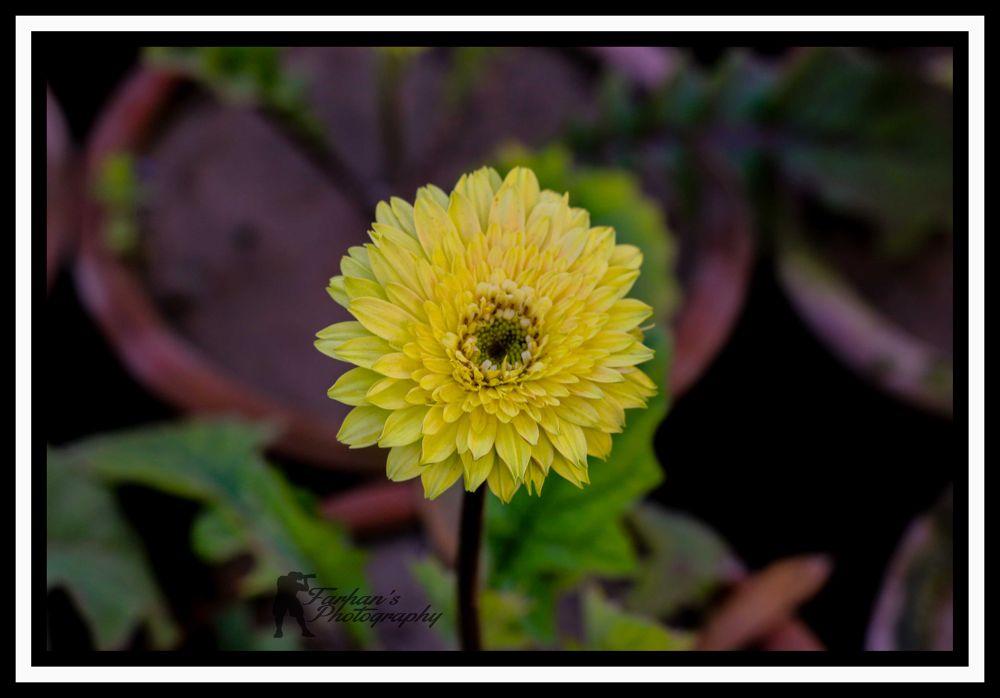 Flower by farhanjehangir