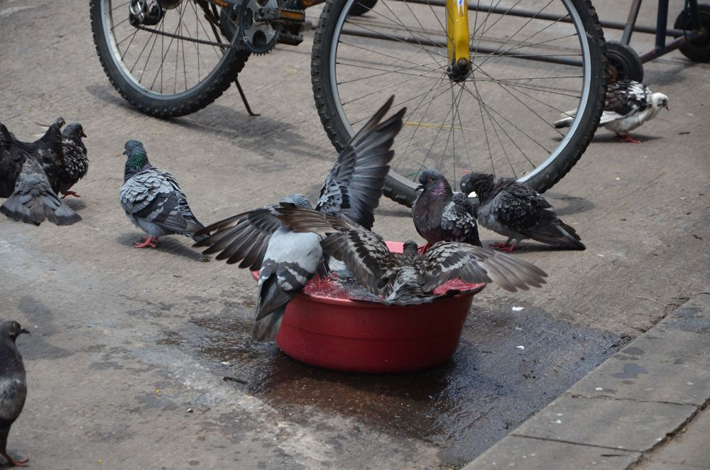 Pigeons bathing 3 by tomdahlqvist3