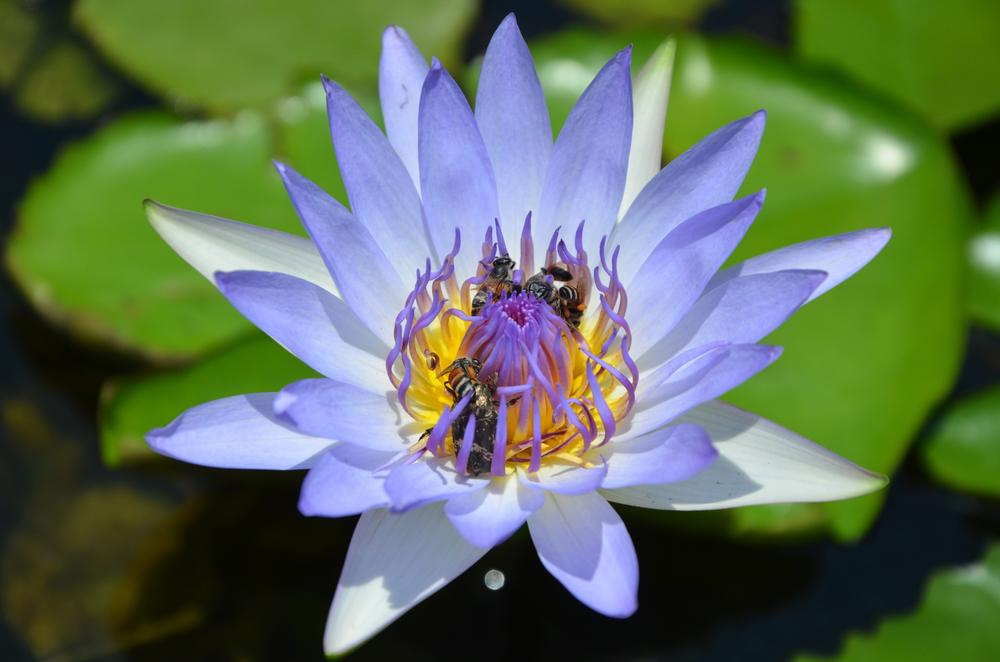 Blue Lotus with bees and a bug  by tomdahlqvist3
