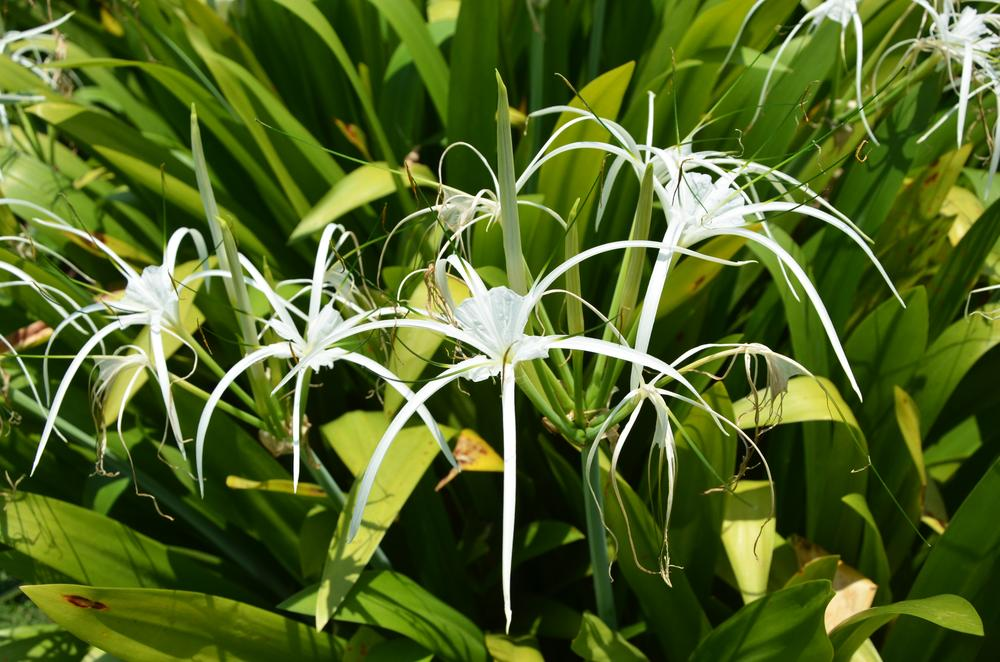 Spider Lily  by tomdahlqvist3