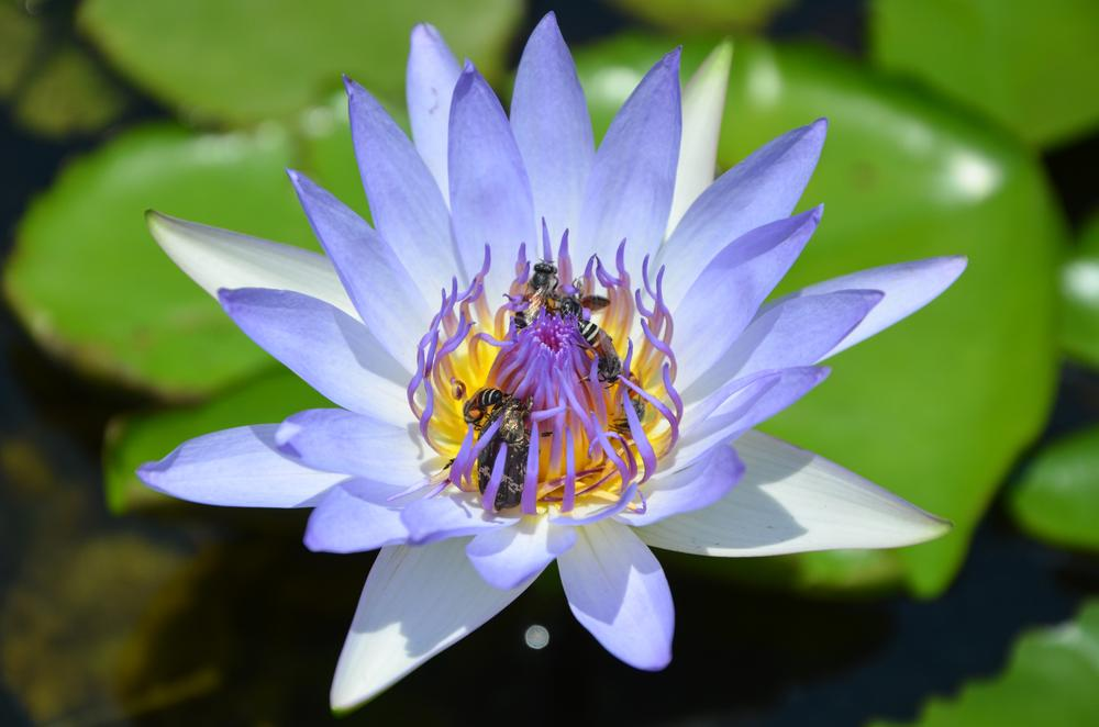 Violet Lotus with bees and a bug on it    by tomdahlqvist3