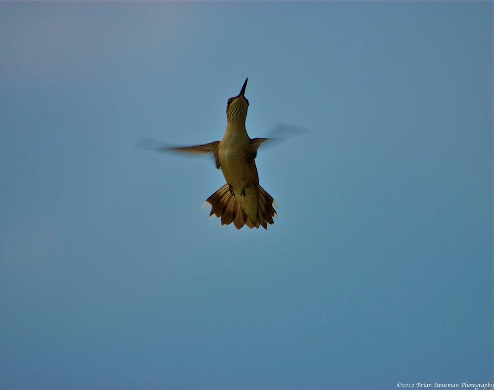 Photo in Random #birds #flight #hummingbird