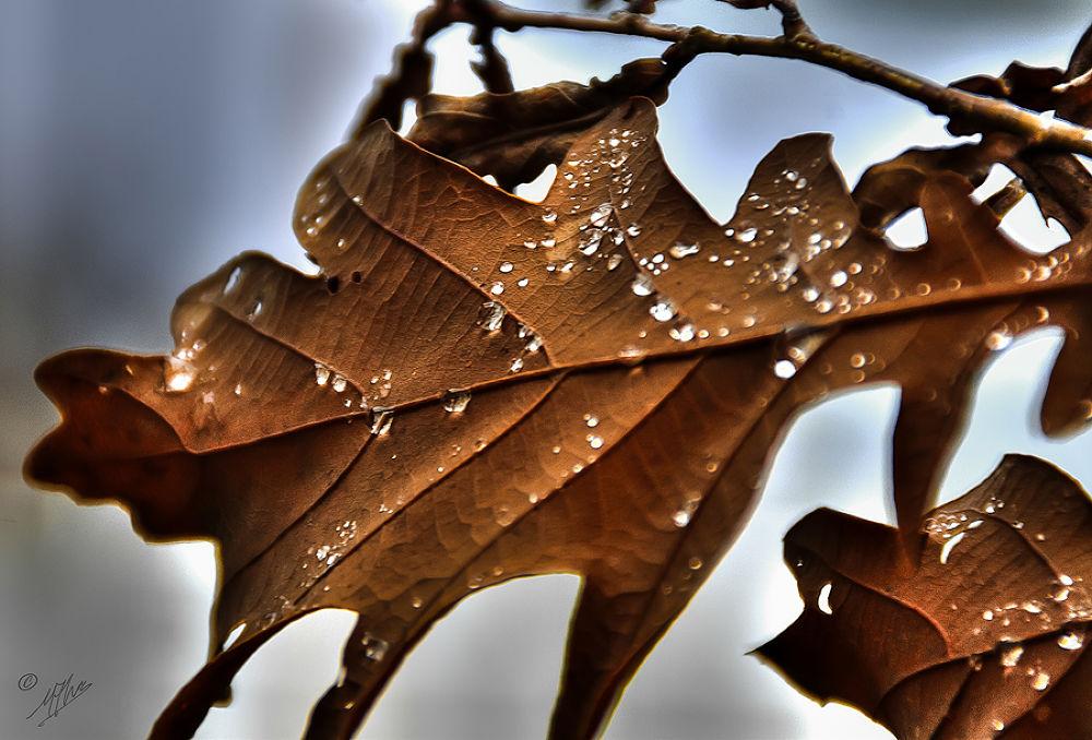 Tearful oak by Mário Alves