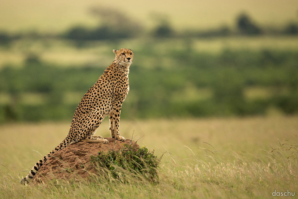 cheetah · masai mara by daschu
