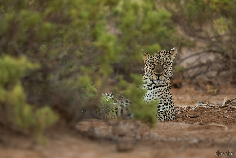 leopard · masai mara by daschu