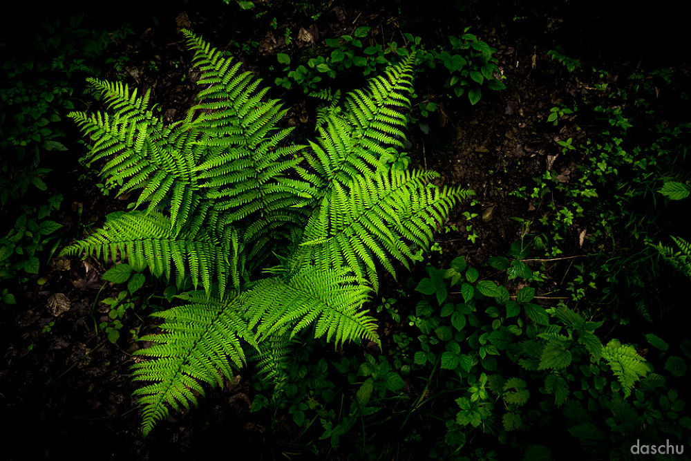 dark fern by daschu