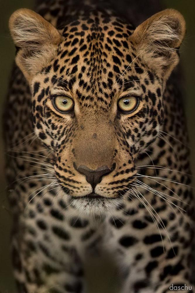leopard portrait · masai mara by daschu