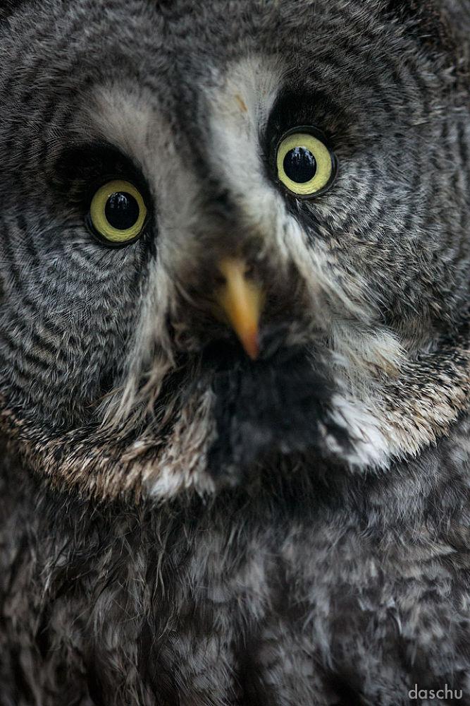 great grey owl by daschu