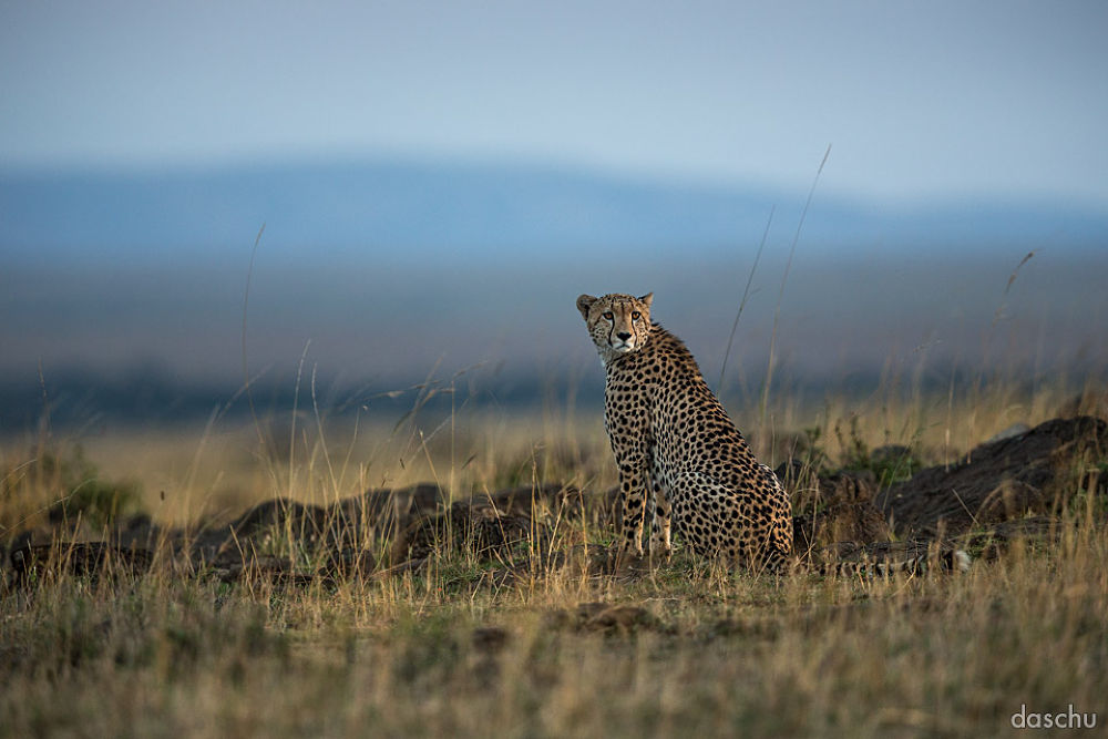cheetah · masai mara by daschu