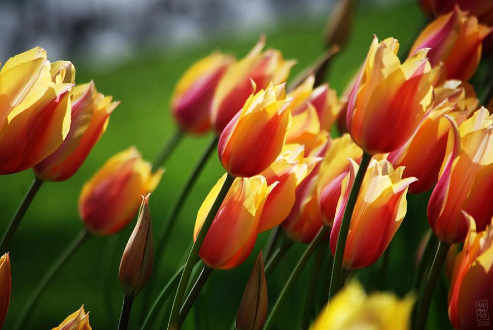 Turkish Tulips by Musato
