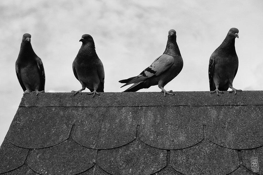 Pigeons by Musato