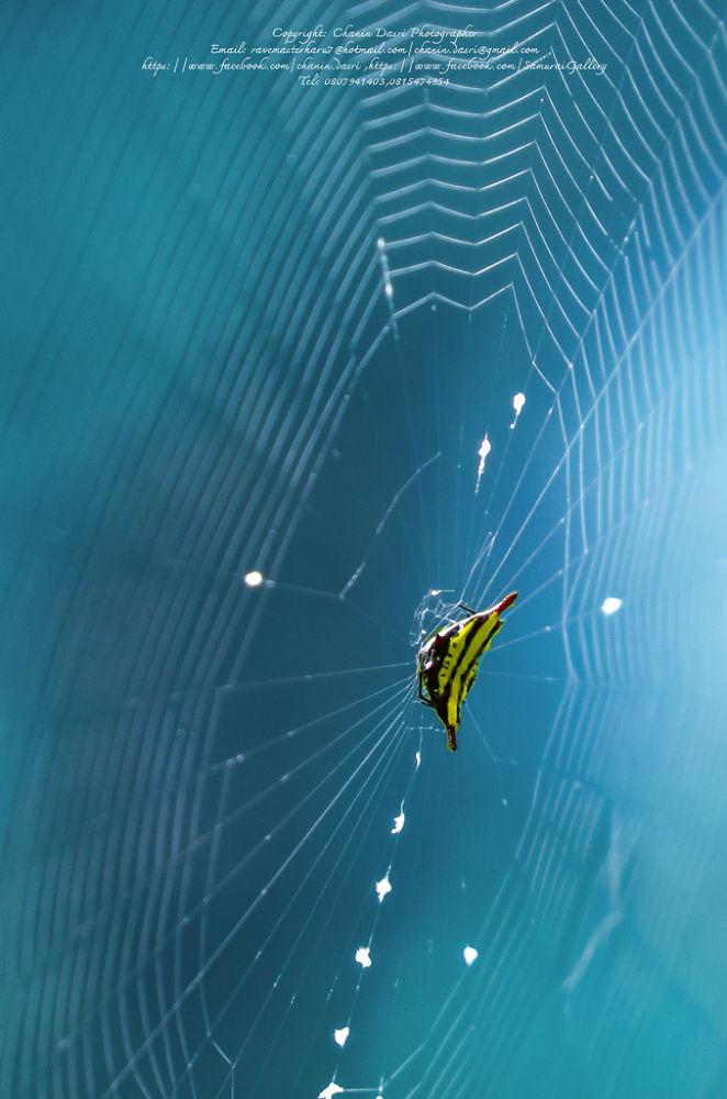 Spider & Net by Chanin Dasri