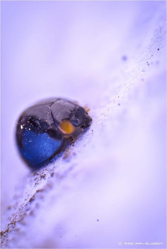 Lady bug by aroraveloson