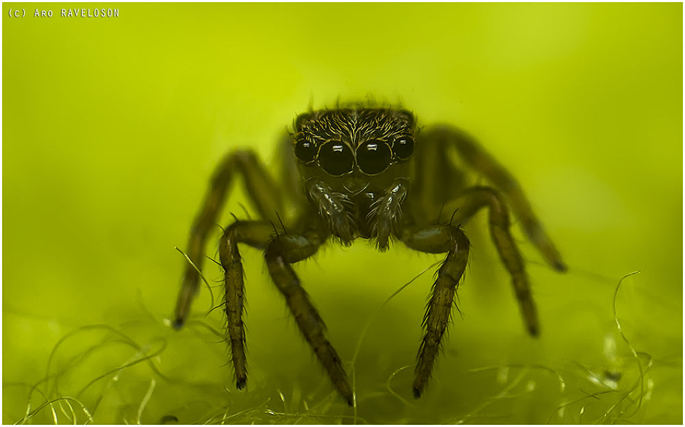 Photo in Macro #spider #jumping spider #green #fabric #details #nikon d60 #aro raveloson #madagascar #macro #nature
