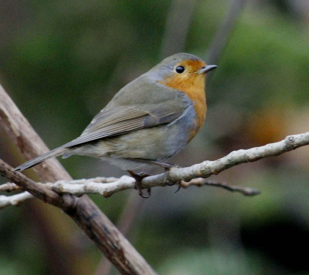 Robin. by sidoneill1