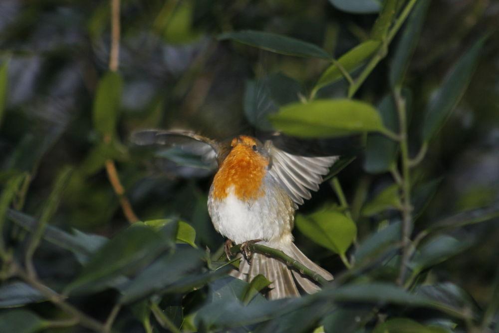 A Robin. by sidoneill1