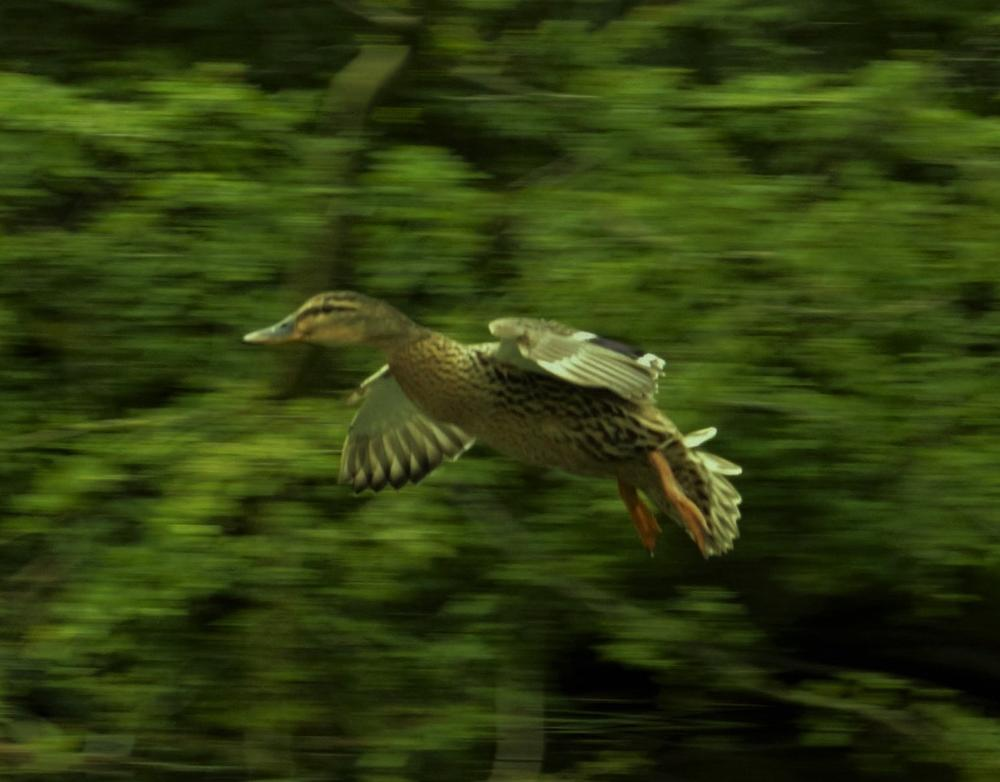 Duck in flight. by sidoneill1