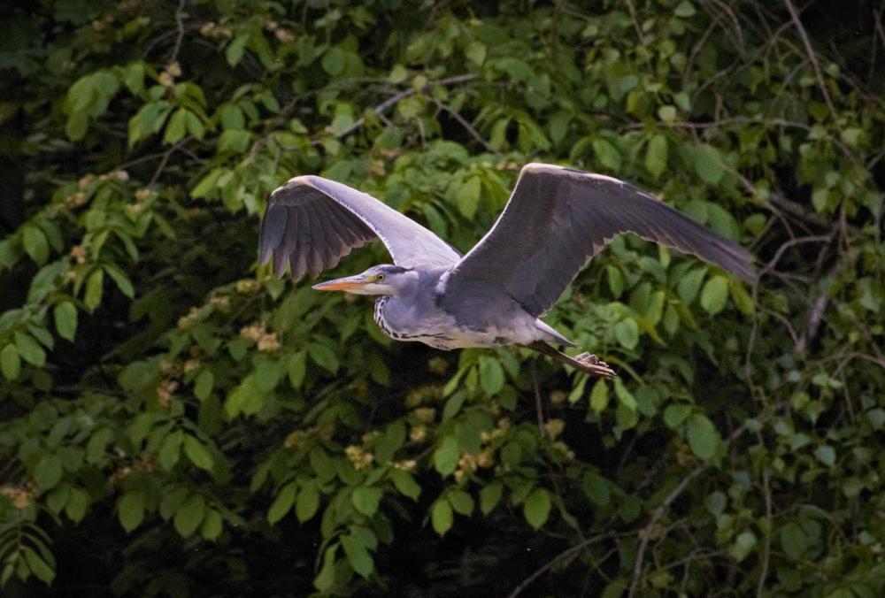 Heron in flight. by sidoneill1