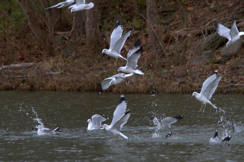 Sea Gulls Fishing  11-16-2013 by tomminutolo