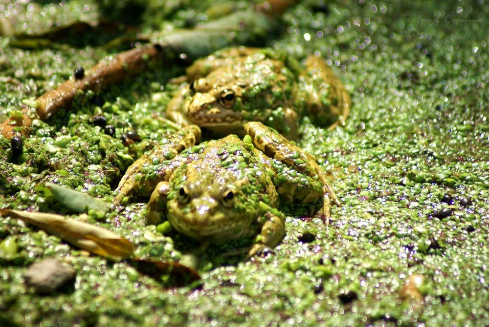 Ranas - Frogs by JosepStartecnia