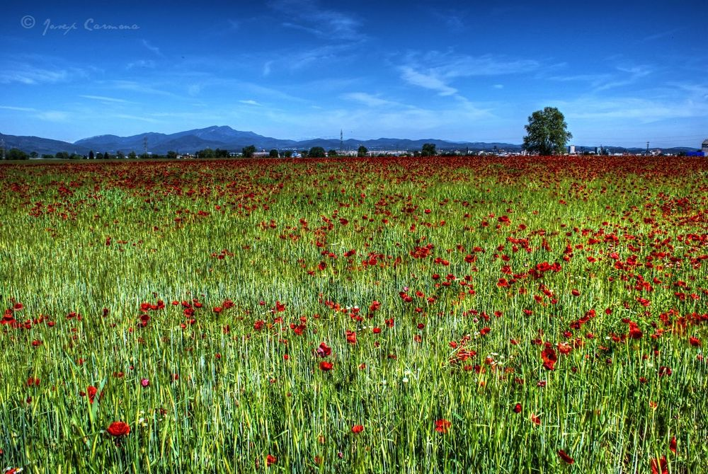 Prado Amapolas - poppies meadow by JosepStartecnia