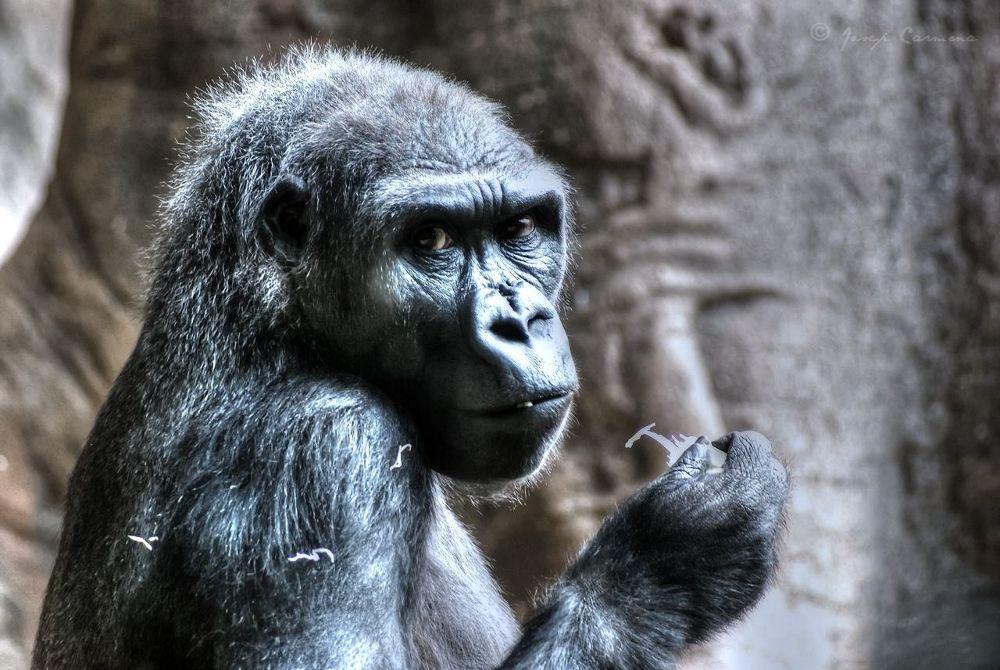 Gorila - gorilla by JosepStartecnia