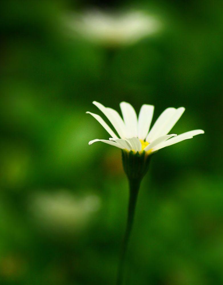 White Flower by PierreHardinge
