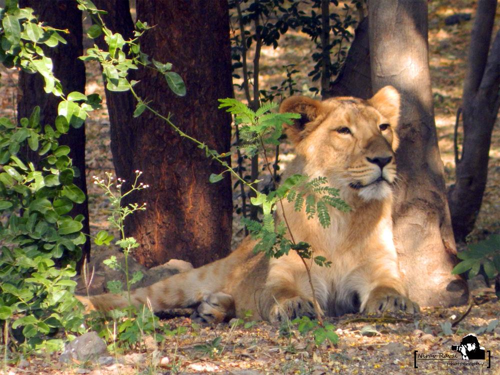 asiatic lion 1 by niravr212