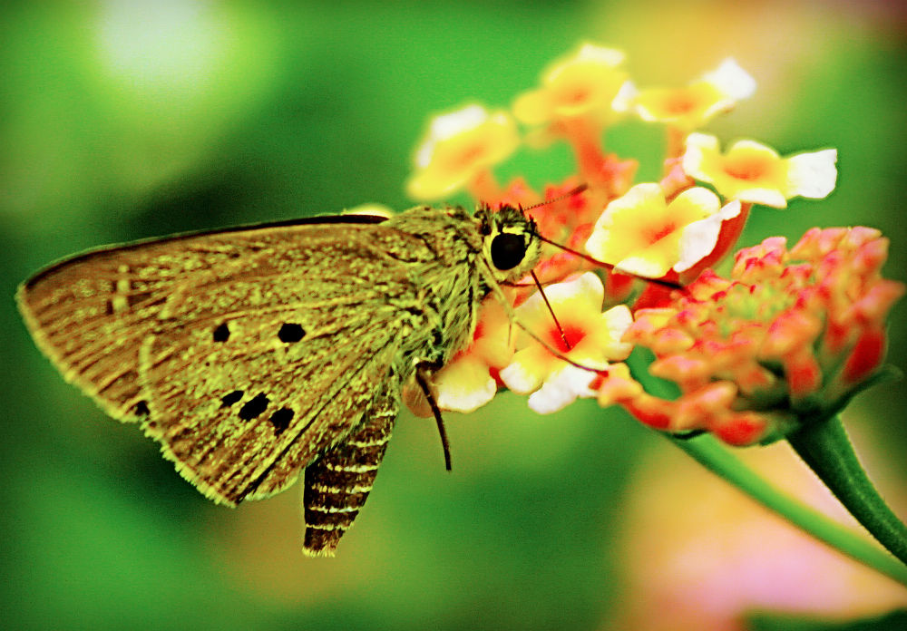 species butterfly of borneo by yudhistwira