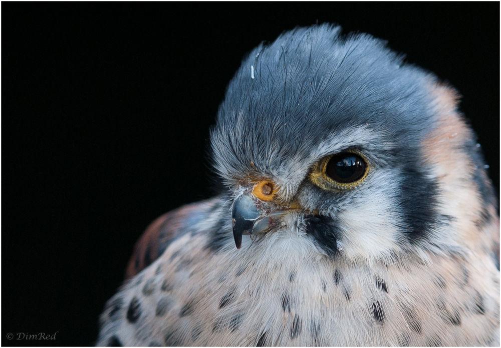 Photo in Animal #falcon #animal #bird #bird of prey #crécerelle #faucon #kestrel #oiseau #park #pairi daiza
