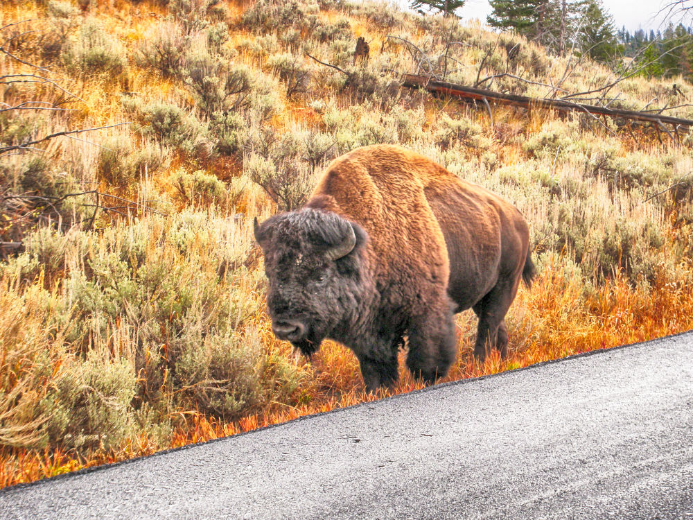 Walking The Highway In Yellowstone. by mountaingoat