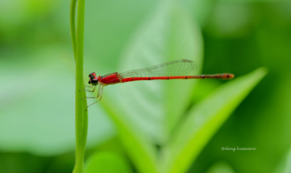 dragon fly by ading kuswara