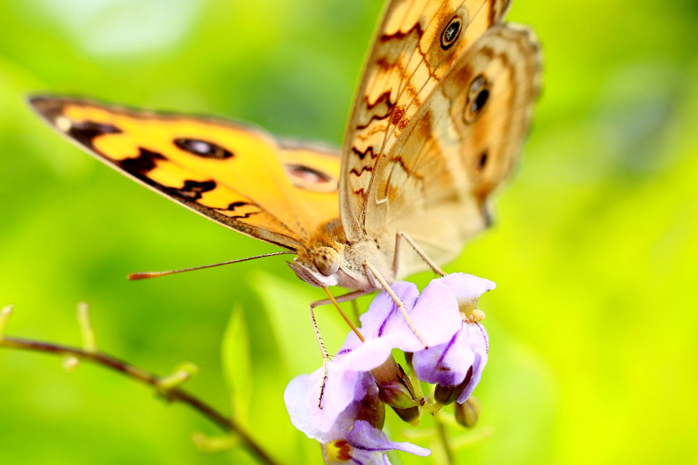Only butterfly by ading kuswara