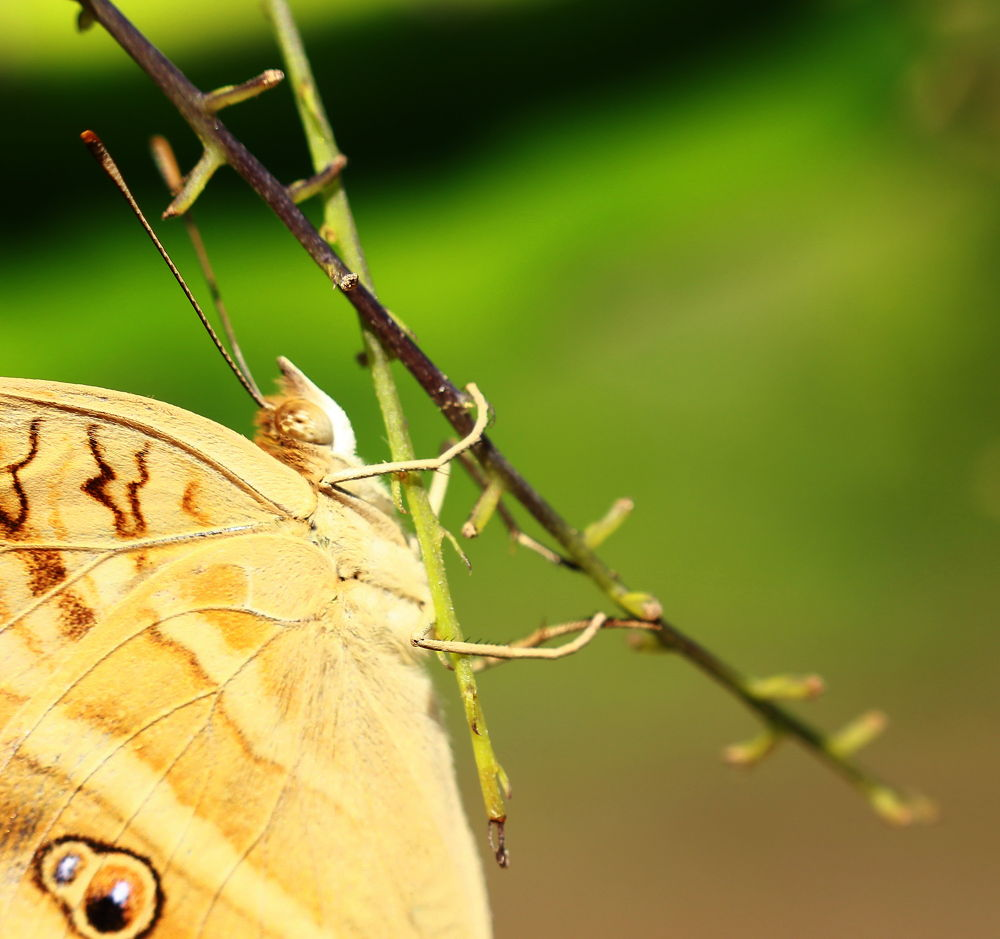 butterfly by ading kuswara